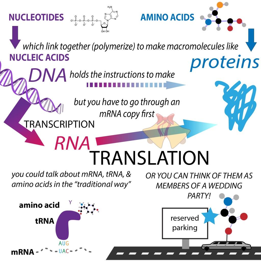 Protein translation – The Bumbling Biochemist